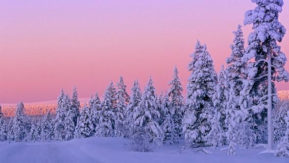 coníferas en la taiga rusa en invierno