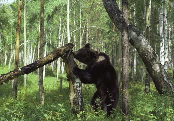 osos en la taiga rusa